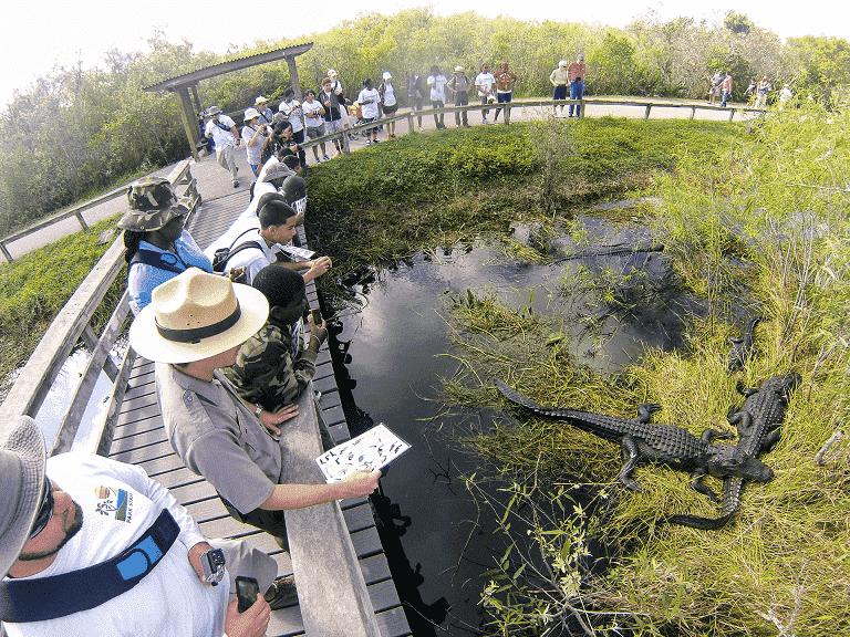Alligators at Everglades National Park in Florida